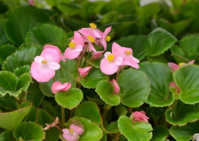Begonia_Bedding_pink_Dn_reduced