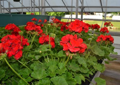 Geranium_Red_Dn2_reduced
