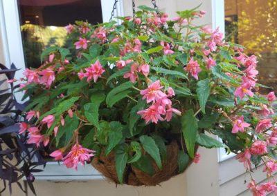 Funky Pink Begonia Basket