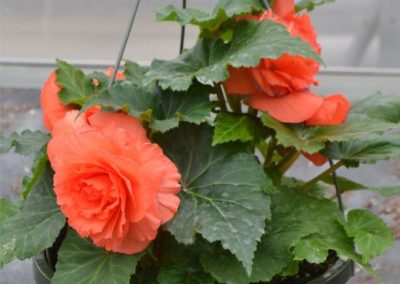 Non-Stop Orange Begonia