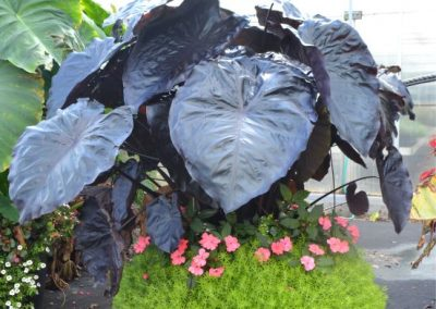 Dark Elephant Ear