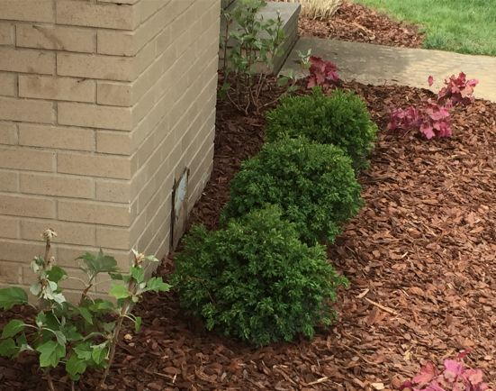 Buxus 'Chicagoland Green'