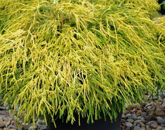 Chamaecyparis pisifera 'Gold Thread'