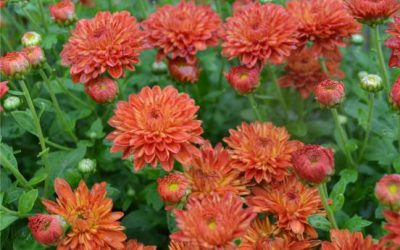 The Season for Mums