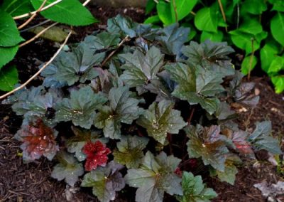 Heuchera Palace Purple