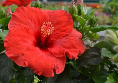 Red-Orange Hibiscus