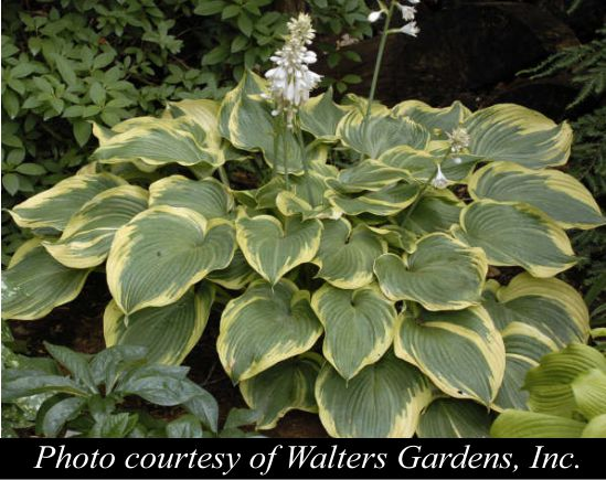 Hosta Earth Angel'