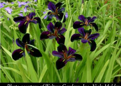 Iris louisiana 'Black Gamecock'