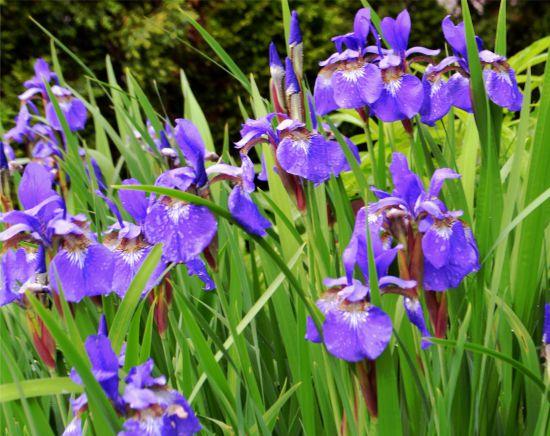 Iris sibirica 'Caesars Brother'