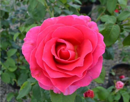 Gentle Giant Hybrid Tea Rose