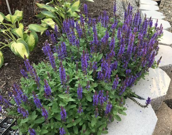 Salvia May Night