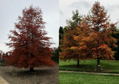 Taxodium distichum (fall color)
