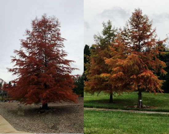 Trees Tolerant Of Salt Spray Dayton Nursery