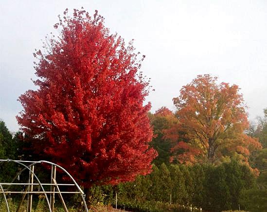 Acer 'Autumn Blaze'