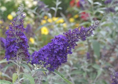 Buddleia 'Buzz Midnight'