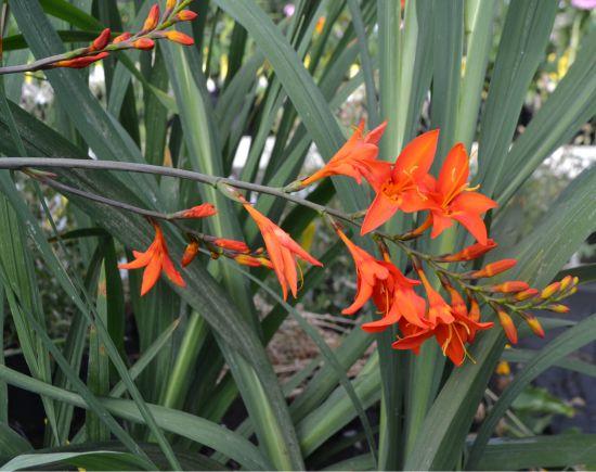 Crocosmia 'Prince of Orange'
