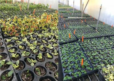 Cuttings in Greenhouse