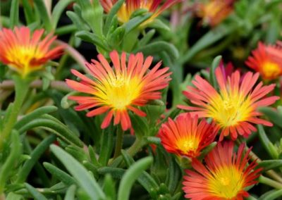 Delosperma 'Fire Wonder'
