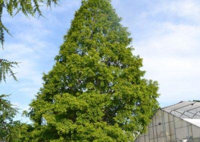 Metasequoia glyp.