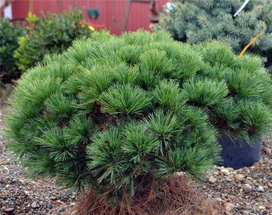 Pinus strobus 'Nana'