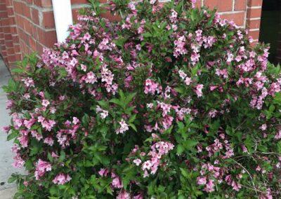 Weigela (pink)
