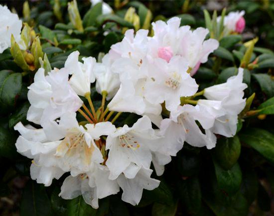 Rhododendron yaku. 'Princess'