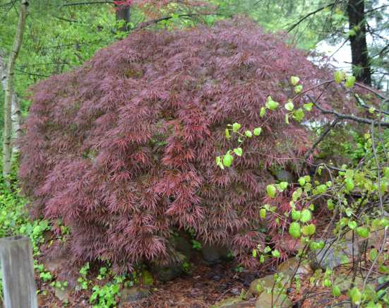 Acer pal. diss. 'Crimson Queen'