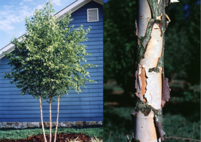 Betula nigra Dura Heat