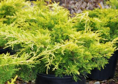 Juniperus 'Gregs Gold'