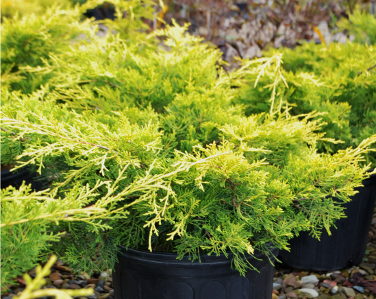 Juniperus 'Gregs Gold'