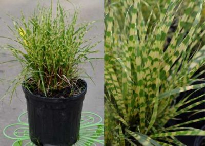 Miscanthus 'Gold Bar'