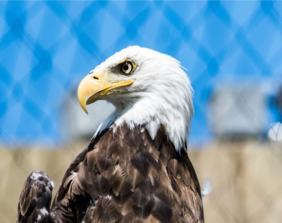 The Bald Eagle – A Proud National Symbol or a Scourge?