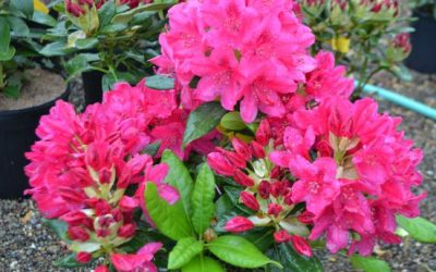 Rhododendrons Are In Their Glory!