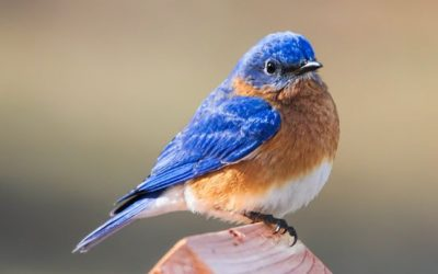 Welcome back Bluebirds…