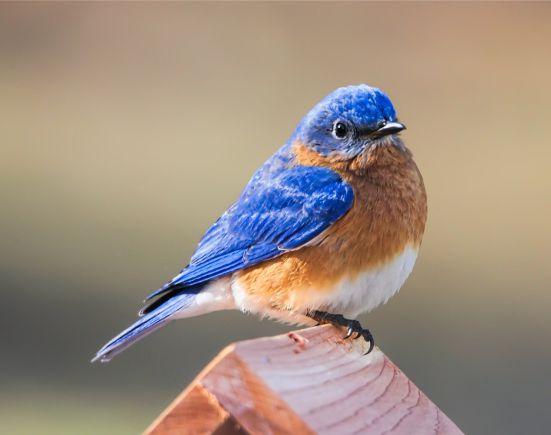 Welcome back Bluebirds…