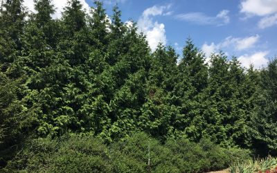 Storms, Arborvitae & an Upcoming Sale