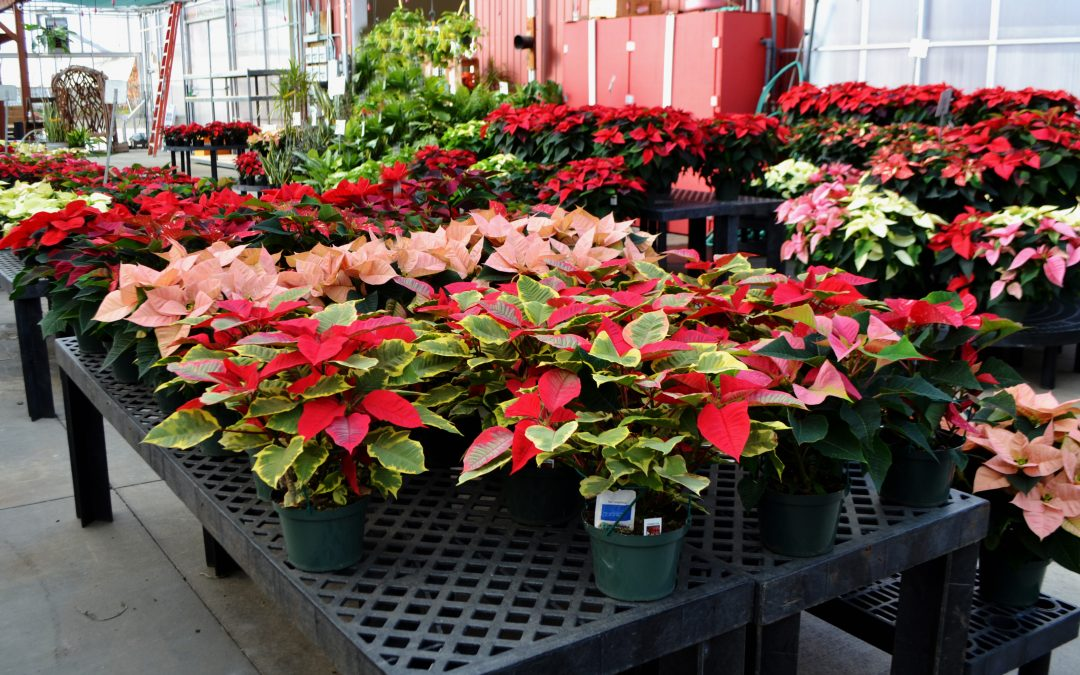 Poinsettias, Cutting Branches & Constructing Grave Blankets