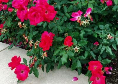 Rosa 'The Double Red Knock Out'