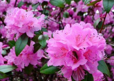 Rhododendron Aglo